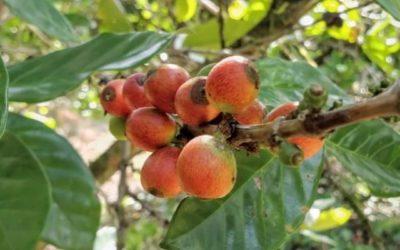 Coffea Liberica – une autre espèce méconnue !